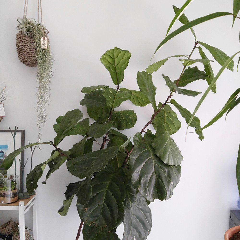 Caring For A Fiddle Leaf Fig Fiddle leaf fig, Popular