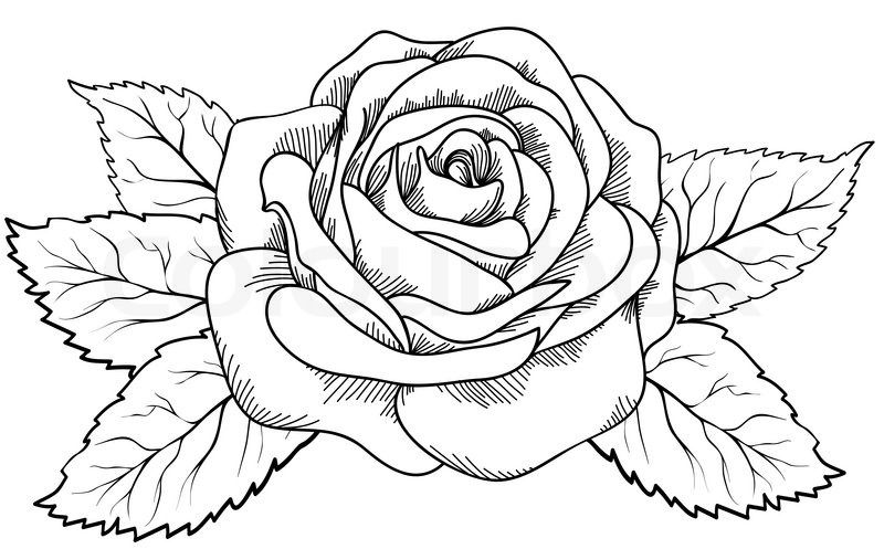 Beautiful rose in the style of black and white engraving. Many similarities in the profile of the artist   Vector   Colourbox on Colourbox
