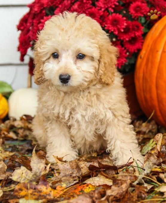 Mason Cockapoo Puppy for Sale in Millersburg, OH