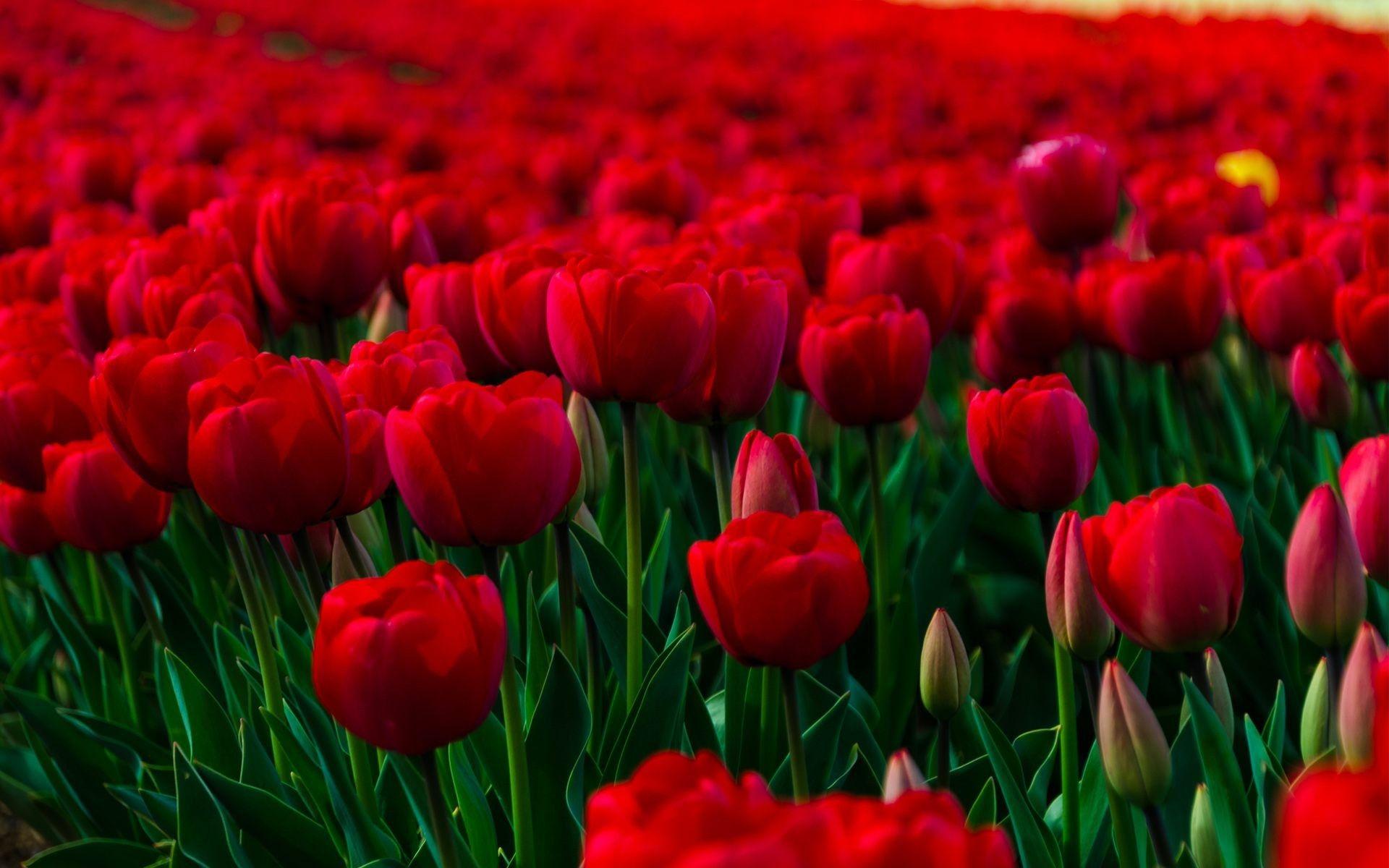 Red Flower Wallpapers Full Hd Red Flower Wallpaper Beautiful Flowers Images Flower Images Wallpapers
