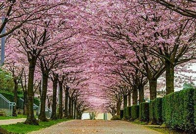 The Vancouver Cherry Blossom Festival Is Back Next Month Cherry Blossom Festival Vancouver City Vancouver