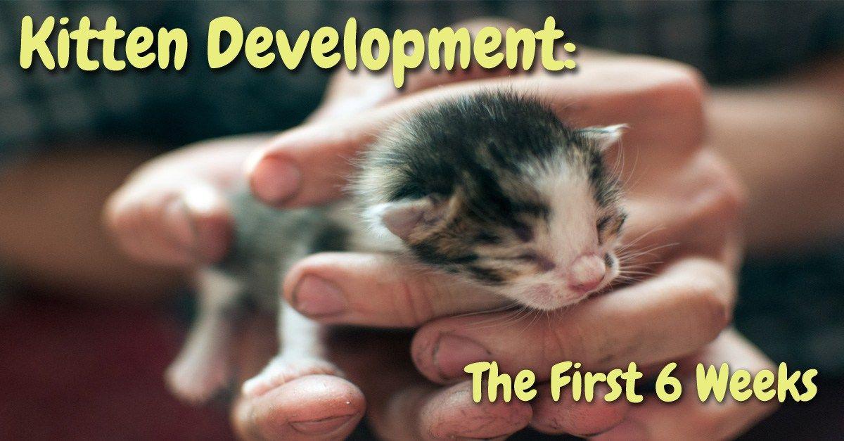 Kitten Development The First 6 Weeks Baby kittens