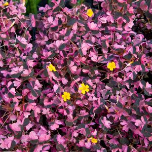 Shamrock Plant 'Plum Crazy' (Oxalis hybrid)