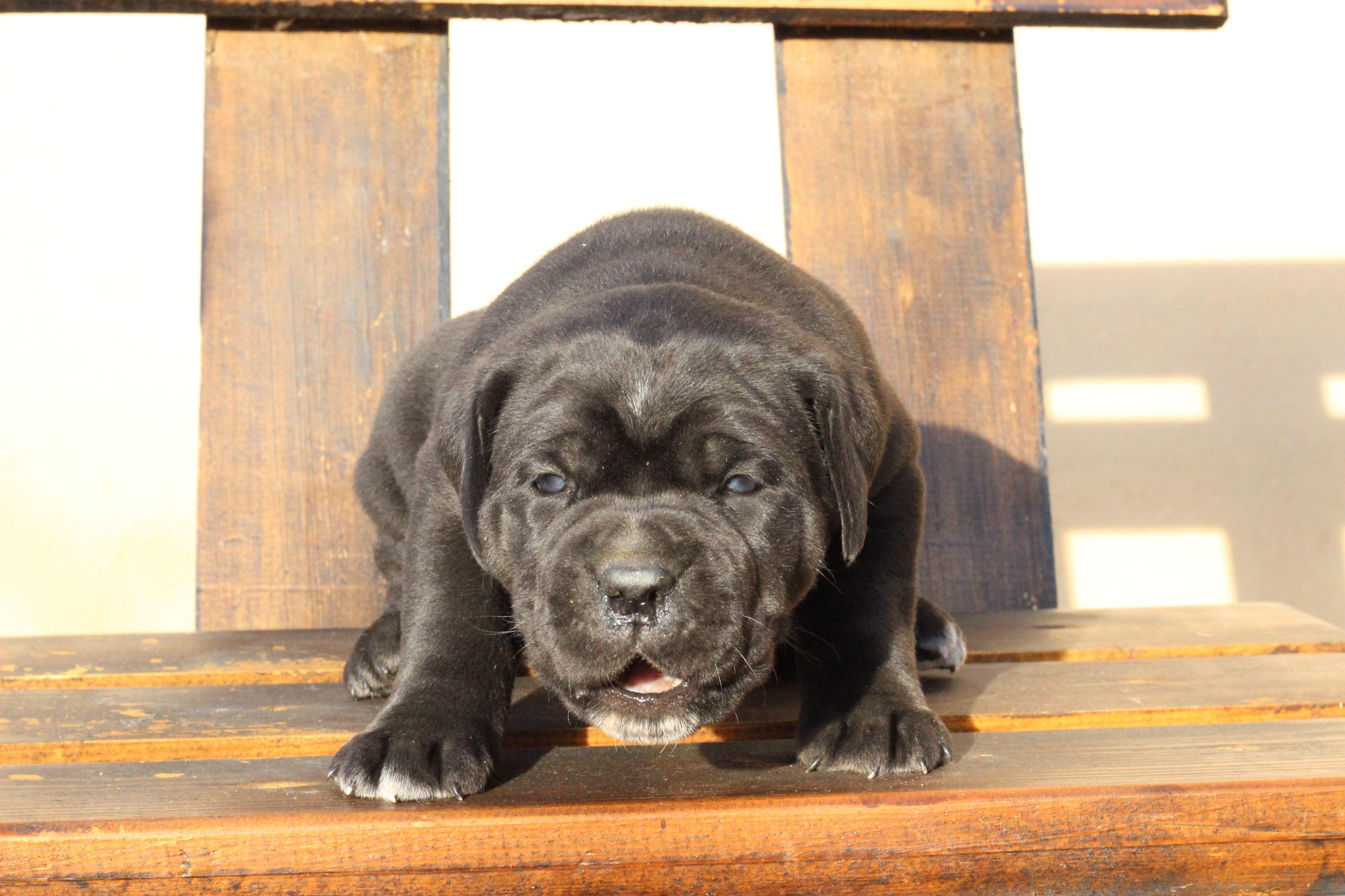Cane Corso Europe Italian Mastiff Puppies Cane Corso Puppy Kennel