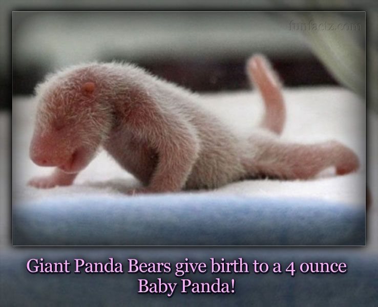 32 best images about Pandas on Pinterest | Zoos, Births and How to be