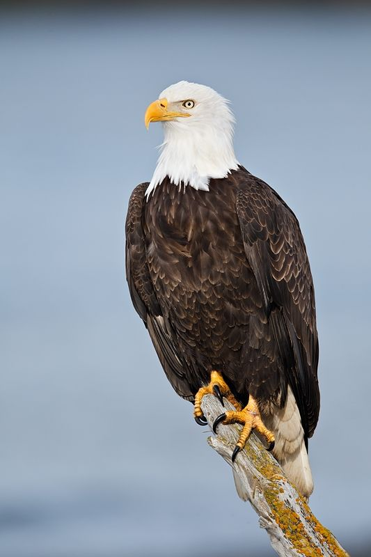 Perched Bald Eagle Bald Eagle Perched Dark Feather Removed Blue Water Bkgr W3c4511 Near Bald Eagle Bald Eagle Pictures Eagle Pictures