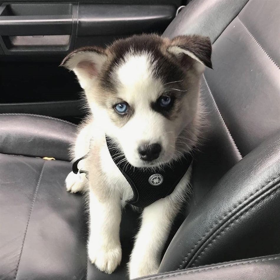 Oh You Little Cutie Husky Pets Puppies Siberianhusky Cute