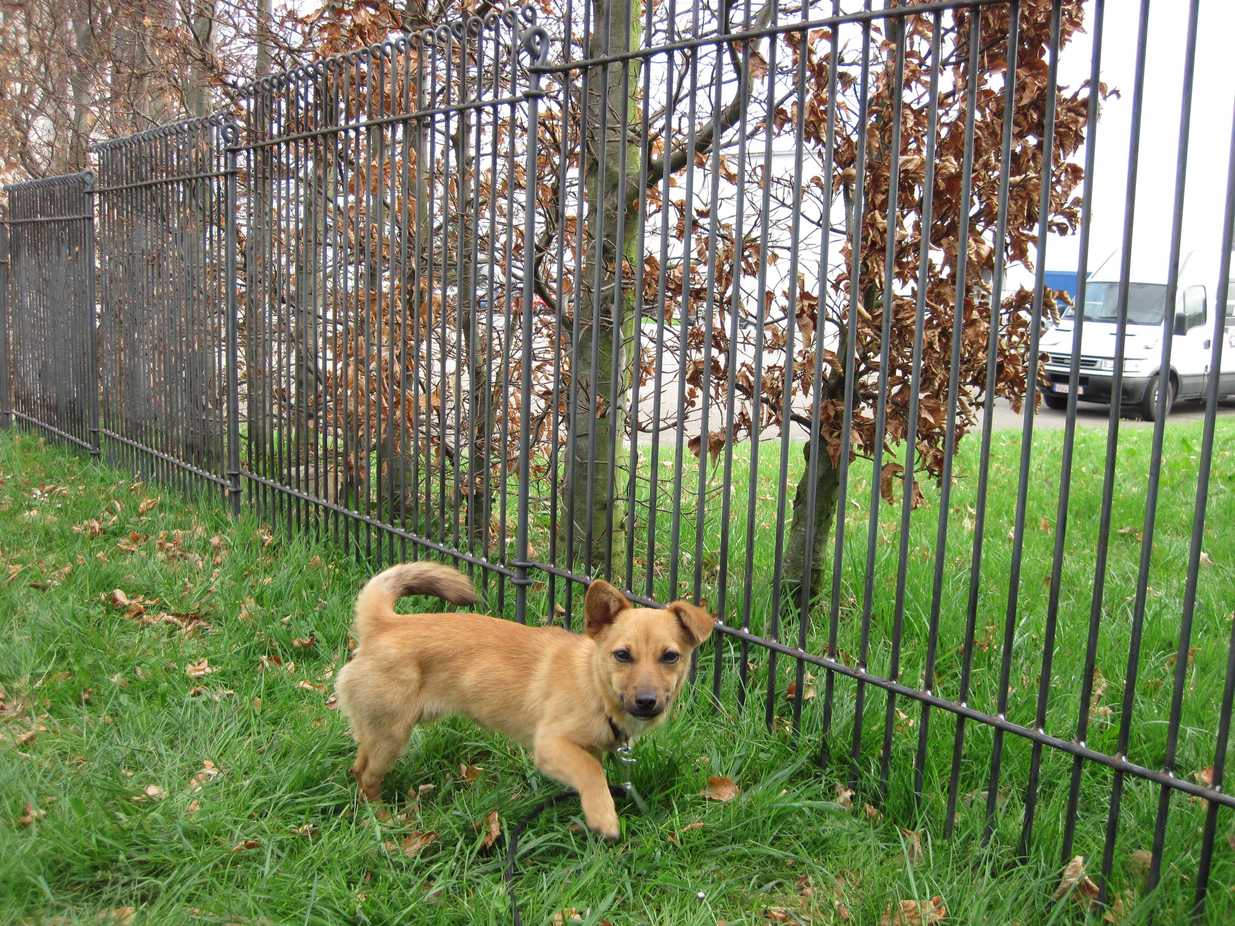 kleiner Hund vor einem anneau engmaschig 115 roh in Eupen Der
