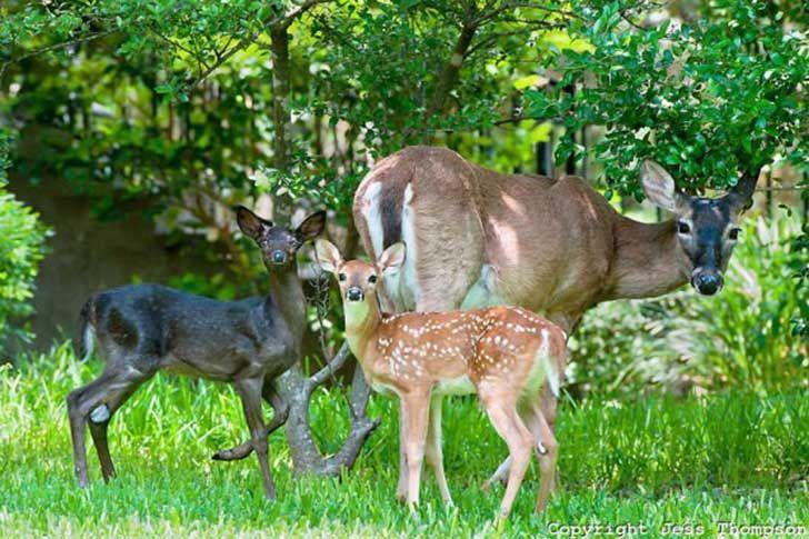 animales-con-melanismo- ciervos