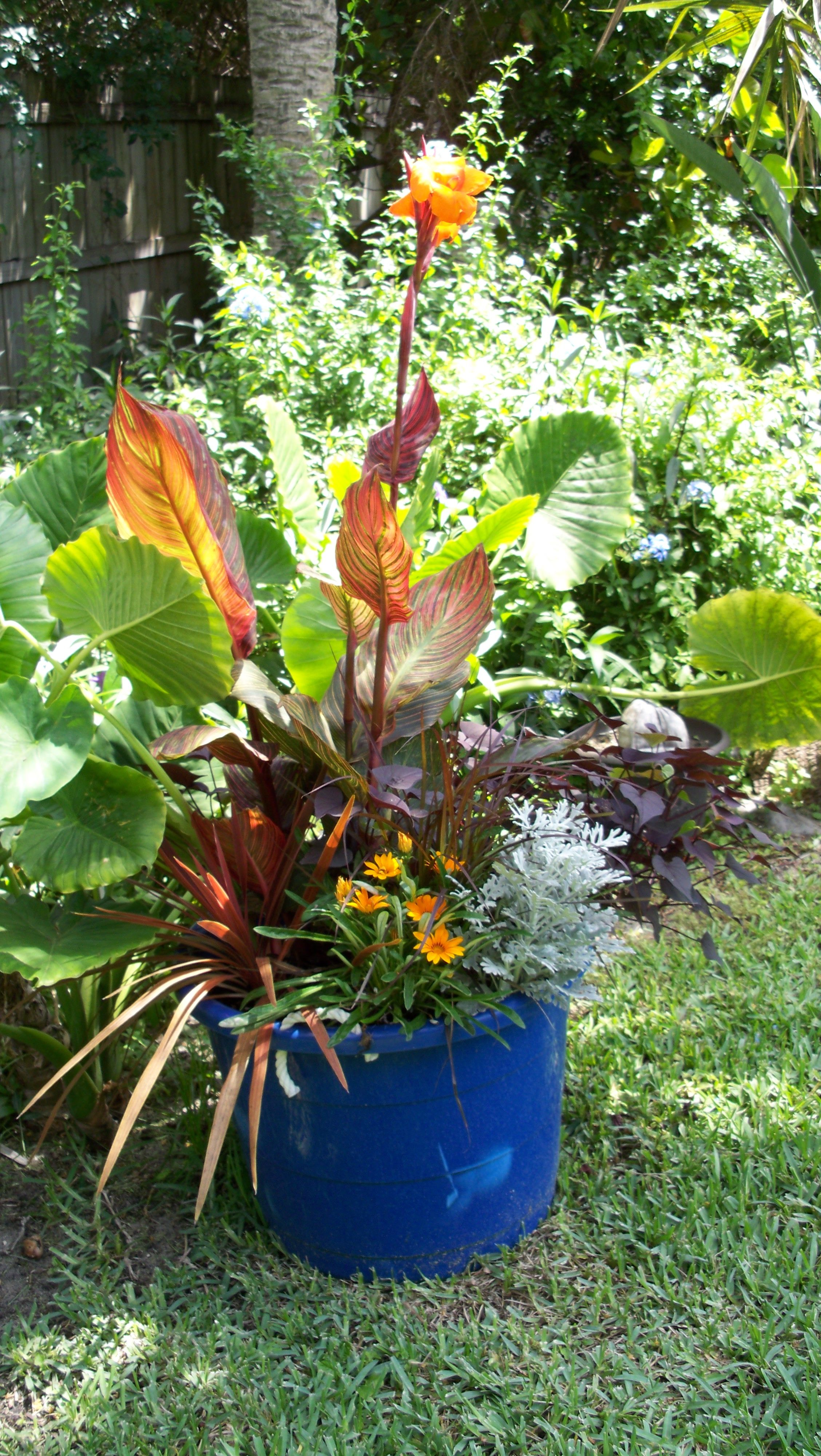 Tropicana Canna Lily Container