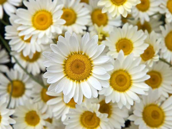 Google image result for httpnatures desktopwallpaper desktop wallpaper picture of a group of white petaled flowers with yellow centres resolutions from iphone wallpaper to hq widescreen mightylinksfo Image collections