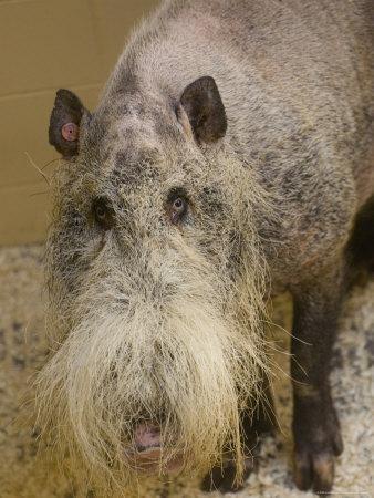 'Bearded Pig from Borneo at the Henry Doorly Zoo, Nebraska' Photographic Print - Joel Sartore | AllPosters.com