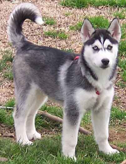 Siberian Husky Price In Ludhiana With Images Siberian Husky
