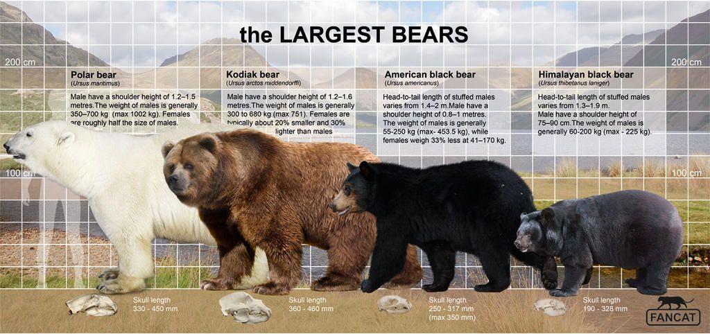 The Bears Size Fancat By Bigfancat On Deviantart Kodiak Bear Bear Bear Species