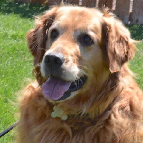 Adopt Sandy 6 Yrs Adopted On Dogs Golden Retriever Golden
