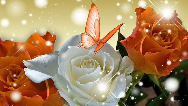Red Orange Butterfly Wallpaper White And Red Flowers Funny Pictures Flowers Red Flowers Rose Color Meanings