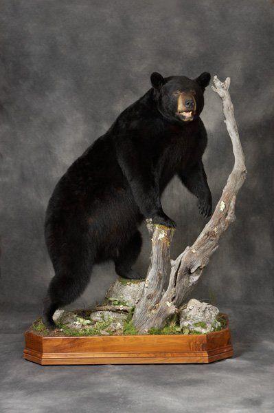 Ebony Bear Pounds Ass