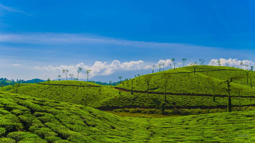 Wayanad Tea Estate - 5 Exciting Weekend RoadTrip Destinations From Bangalore - http://bit.ly/1PaQNRS  #travel