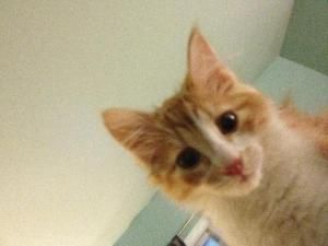 Adopt Elvis From Feline Rescue St Paul Mn Playful Affectionate