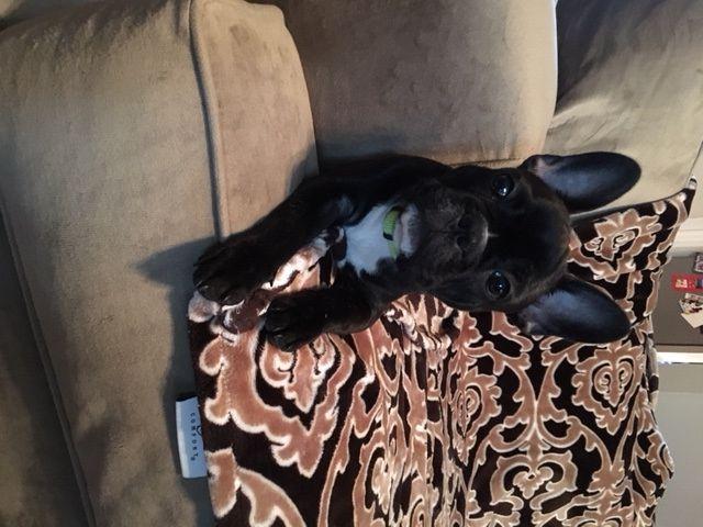 French Bulldog Puppy For Sale In Visalia Ca Adn 24373 On