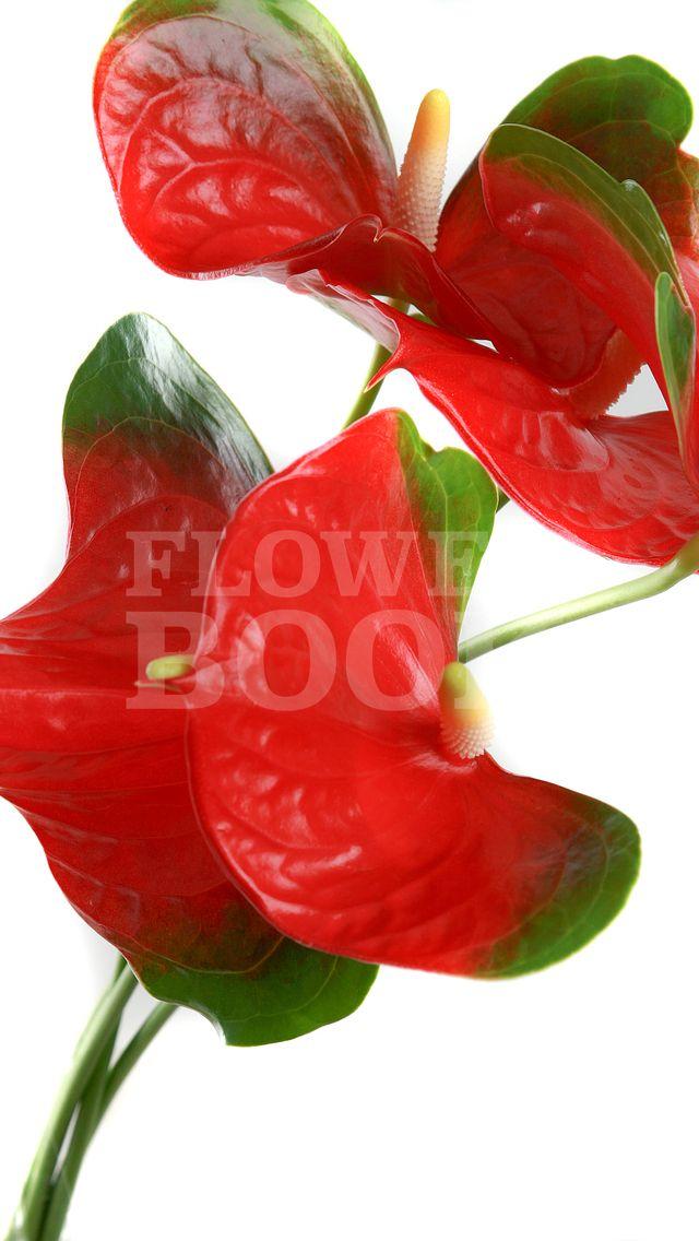 Anthurium Calore Flores Plantas Heliconias