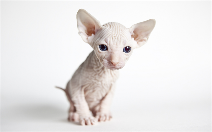 Download Wallpapers Sphynx Cat Small Hairless Cat White Kitten Cute Animals Domestic Cats Besthqwallpapers Com Cute Animals Sphynx Cat Animals