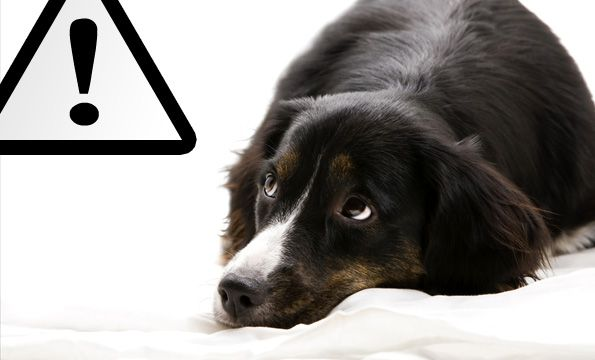 toxic food for dogs foods
