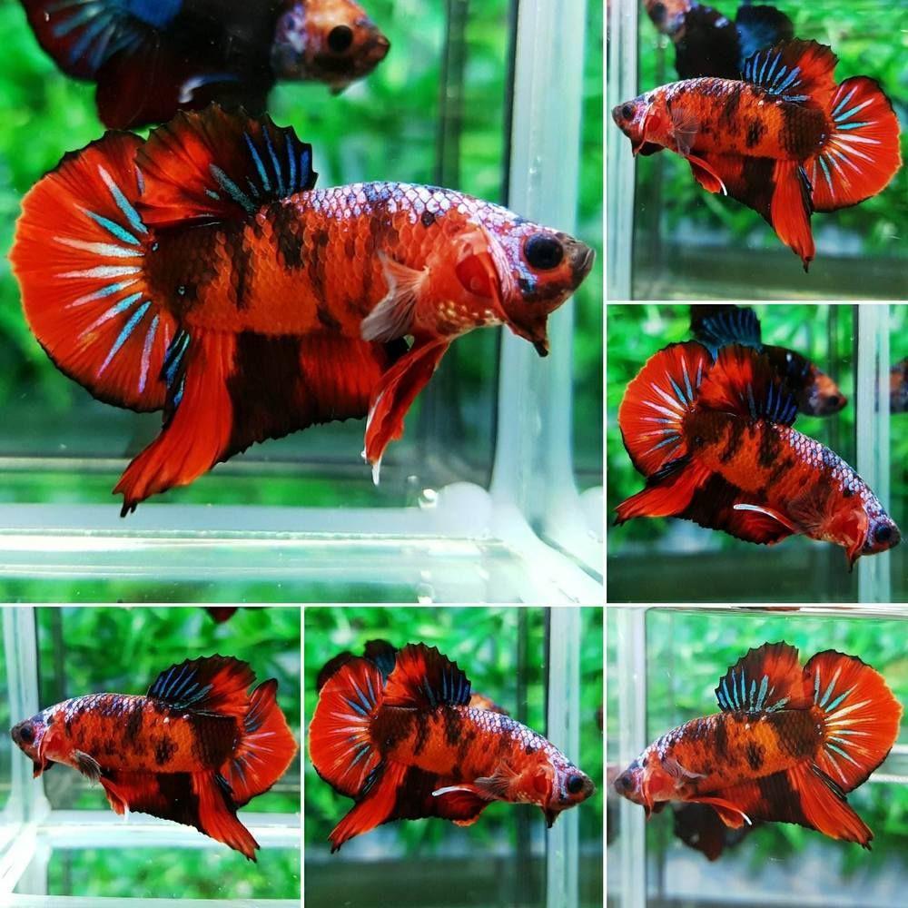 PKM449 Imported HMPK RED KOI LIVE BETTA FISH MALE | Betta fish ...