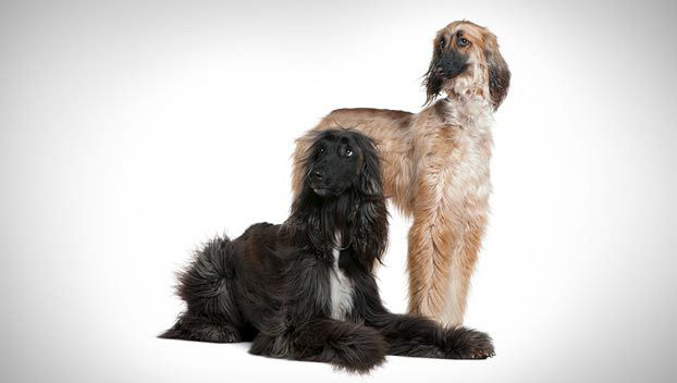 Afghan Hound Does This Breed Fit Your Lifestyle There Are