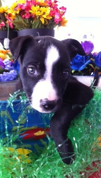 Adopt Ebony On Animal Rescue Border Collie Mix Puppies Funny