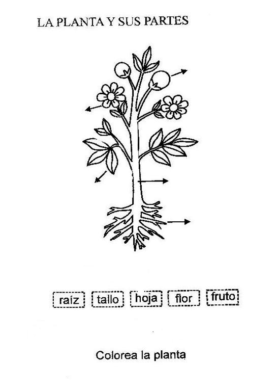LA PLANTA Y SUS PARTES - Mapas conceptuales | dibujos exámenes ...