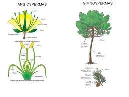 Angiospermas y gimnospermas reproduccion asexual