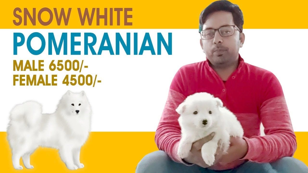 Pomeranian Dogs For Sale Price Of Pomeranian Puppies Pomeranian In India In 2020 Pomeranian Dog Pomeranian Puppy Best Guard Dogs