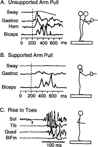 The Final Level Of Postural Control Is Anticipatory And
