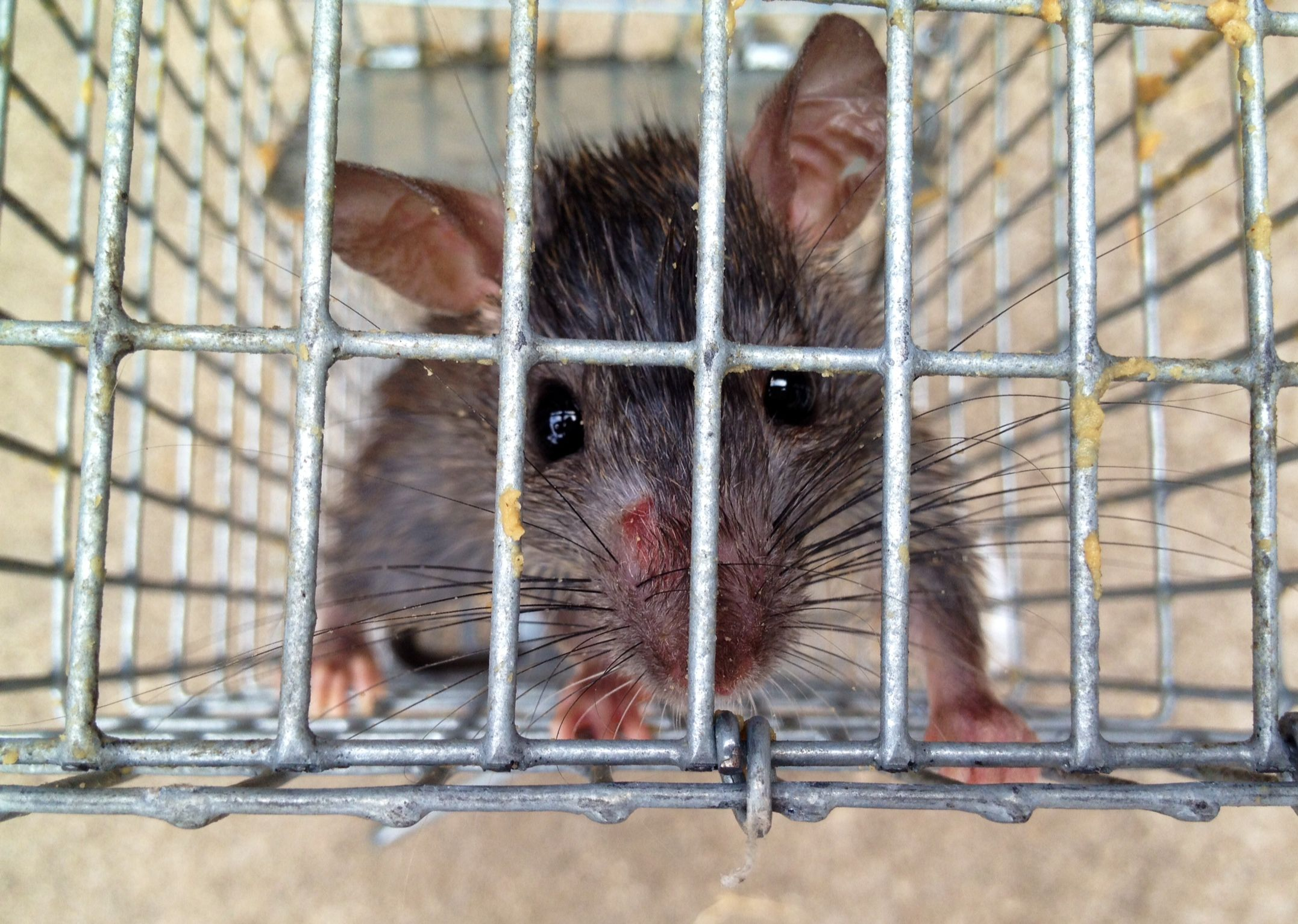If You Re Putting Away Your Christmas Decorations And Find Extra Guests In The Attic We Can Help Rodent Control Rats Animals Rodent Control