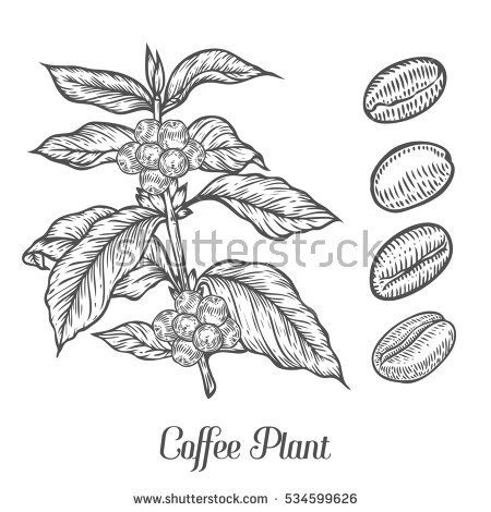 Coffee Plant Branch With Leaf Berry Coffee Bean Fruit Seed Natural Organic Caffeine Green Coffee Luwak Black On White Background Kopi Ilustrasi Gambar