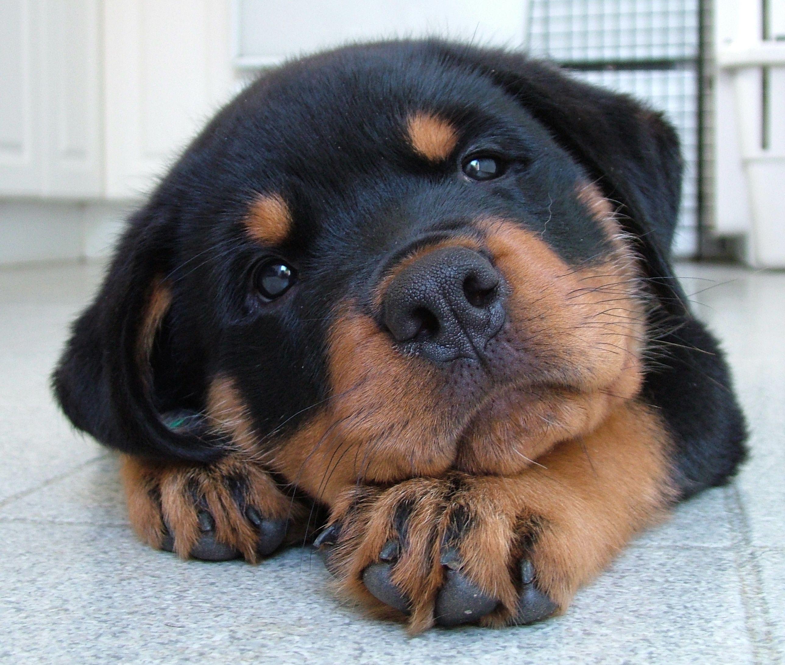 Rottweiler On Vous Dit Pourquoi Il Ne Faut Surtout Pas En Adopter