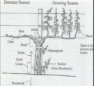 Grapevine anatomy   Garden - Fruit and Veggie   Pinterest   Growing ...
