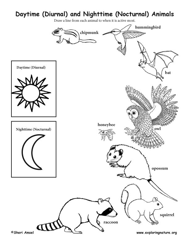 Image Result For Diurnal Animal Coloring Sheet Nocturnal Animals