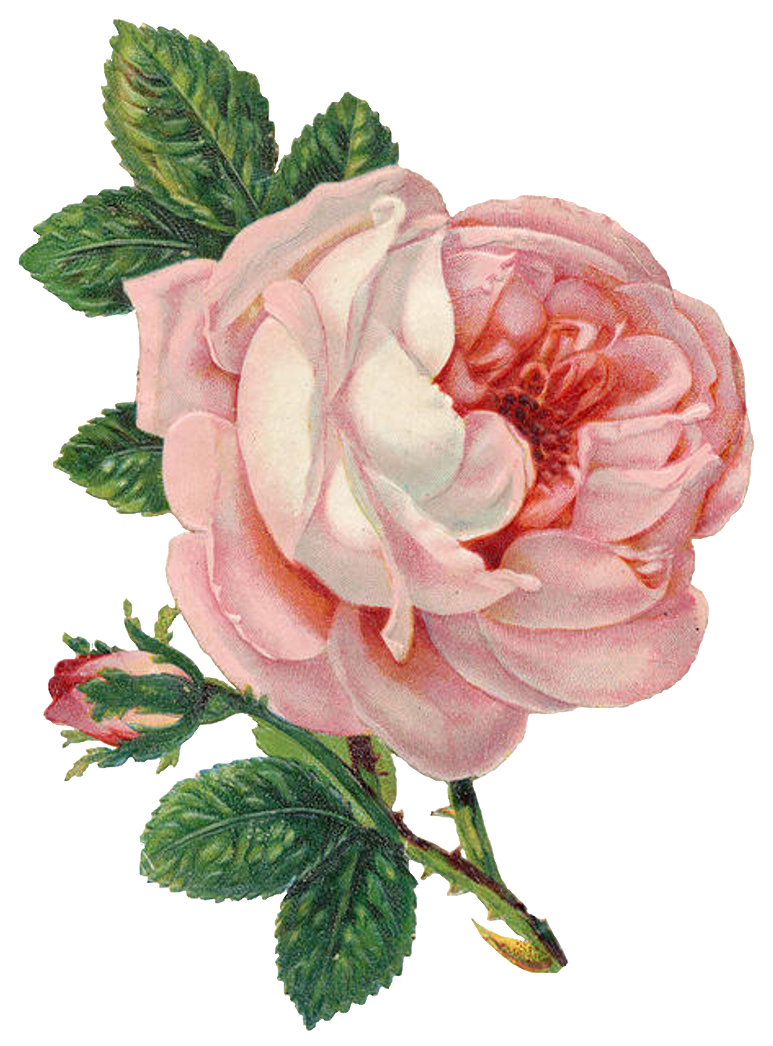 Old Marriage License Pink Rose Lilac N Lavender Png Image Png 773 1046 Pixels Vintage Flowers Vintage Roses Free Clip Art