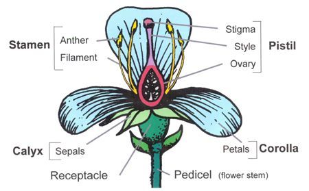Flower structure and function flowers are the reproductive flower structure and function flowers are the reproductive structures of a flowering plant flowers are ccuart Images