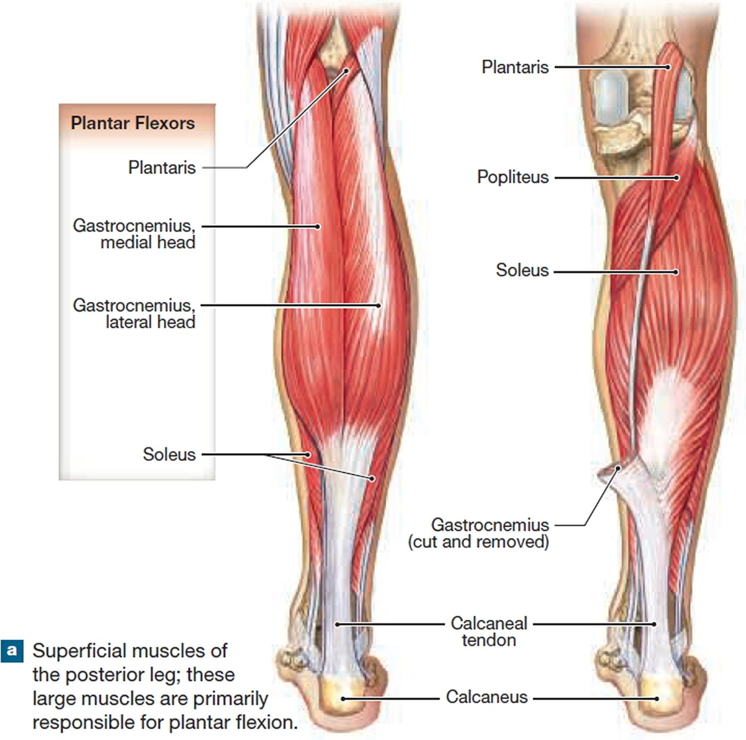 Groin Muscle Anatomy Diagram Human Anatomy Drawing Muscle