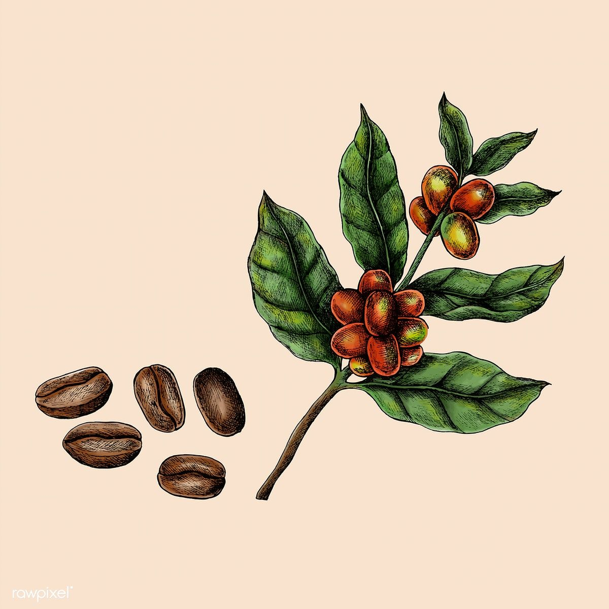 Download premium vector of Hand drawn fresh coffee beans