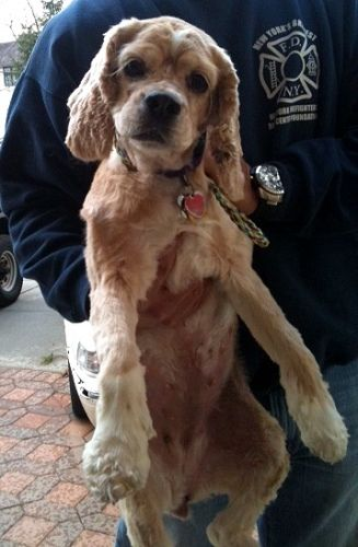 Lucy In The Sky With Diamonds Is An Incredibly Sweet And Playful Darling Of A Dog Though This 2 5 Year Old Cocker Spaniel Pre Dog Adoption Cocker Spaniel Dogs