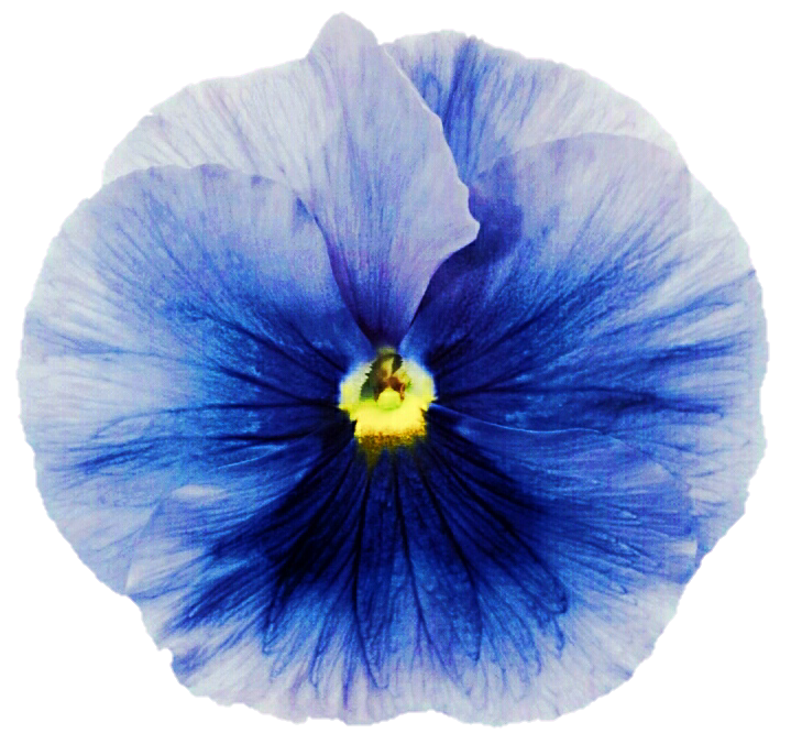Paintings Of Blue Pansy Flowers Yahoo Image Search Results Pansies Image Painting
