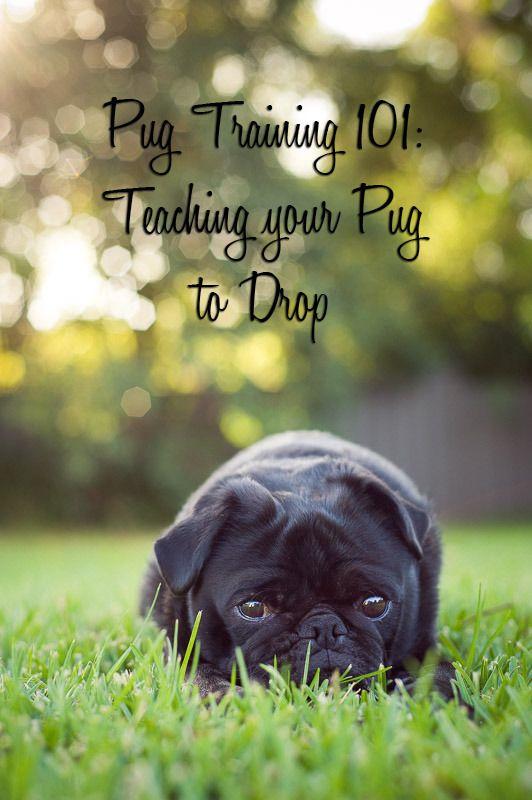 Pug Training 101 Teaching Your Pug To Drop Dog Training Pugs