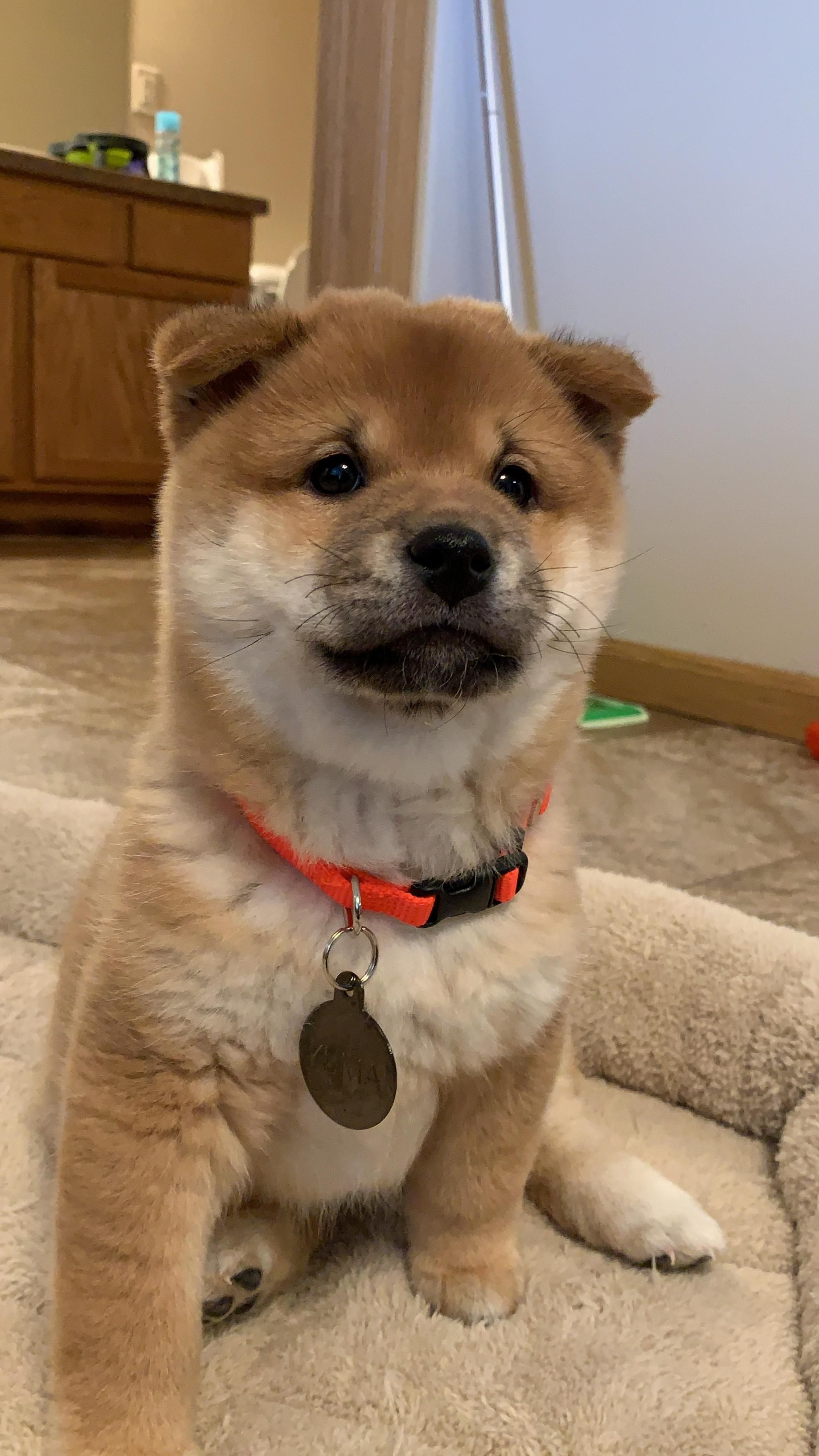 Corgi Shiba Inu Mix Reviewed By Vets 3 Reasons To Avoid Doggypedia In 2020 Shiba Inu Cute Dogs And Puppies Puppy Breeds