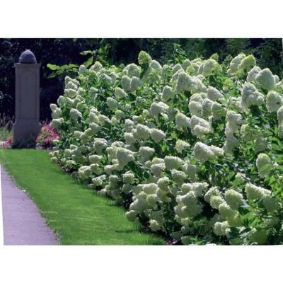 Proven Winners Limelight Colorchoice Hydrangea 1 Gal Hardy Shrub Hydprc1016101 The Home Depot Hardy Hydrangea Limelight Hydrangea Hydrangea Paniculata
