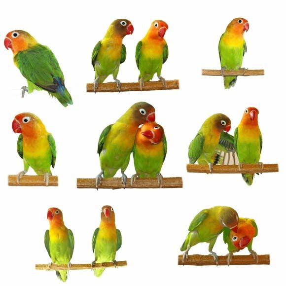 There Are Lots Of Myths Surrounding Small Parrot Species Such As Lovebirds Budgies And Cockatiels
