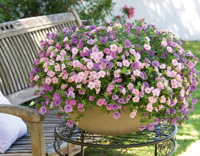 Calibrachoa trixi petticoat pink garden pinterest - Calibrachoa trixi ...
